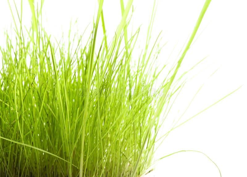 Groen Gras dat op wit wordt geïsoleerdu stock fotografie