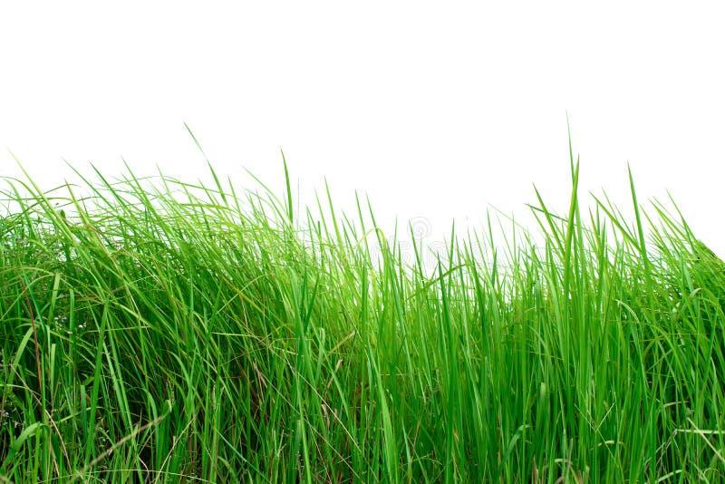 Groen gras dat op witte achtergrond wordt geïsoleerdg royalty-vrije stock afbeeldingen