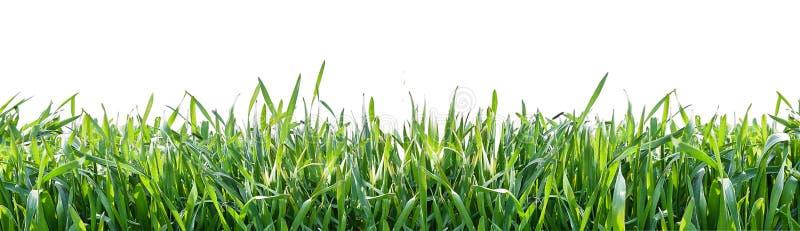 Groen gras dat op witte achtergrond wordt geïsoleerdg Natuurlijke achtergrond