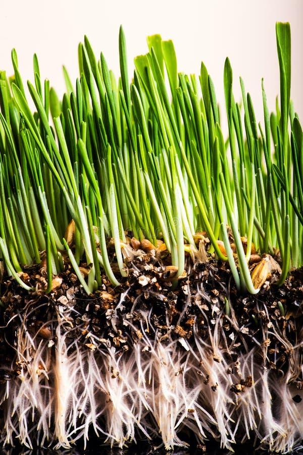 Groen gras dat wortels toont royalty-vrije stock foto's