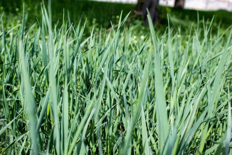 Groen gras in de tuin royalty-vrije stock foto