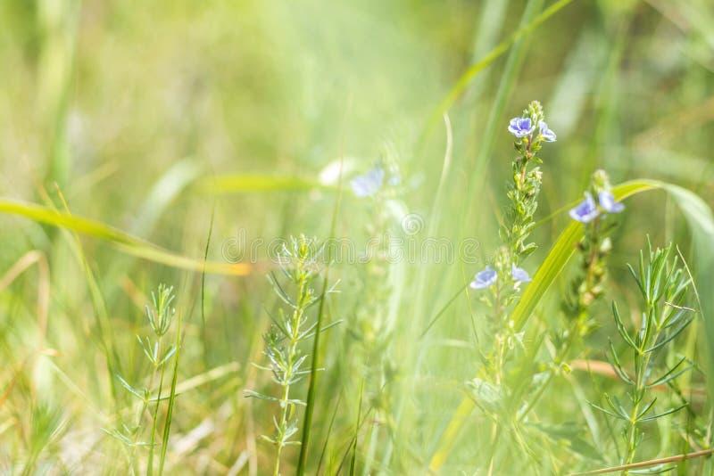 Groen gras en tedere blauwe bloemen op het gebied stock foto