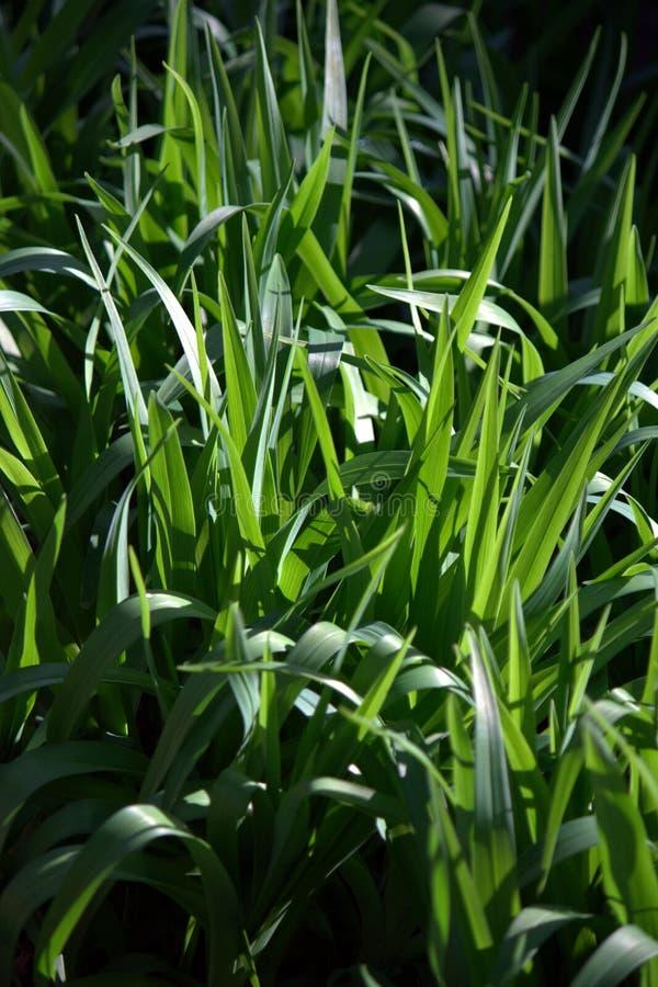 Groen gras II stock fotografie