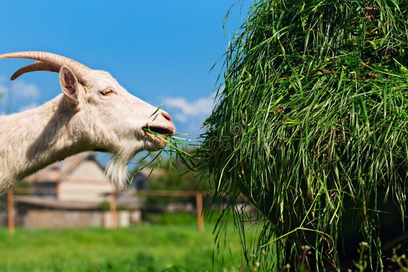 Groen gras in kruiwagen met witte geit royalty-vrije stock afbeeldingen