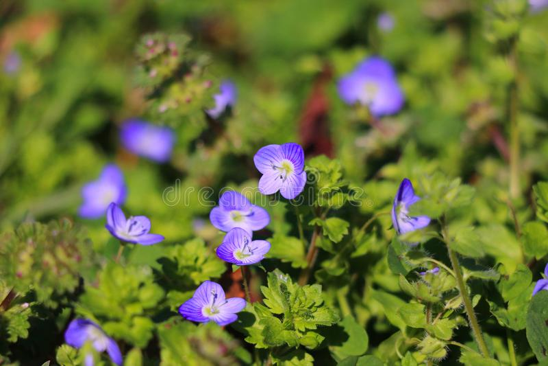 Groen gras met blauwe bloemen stock foto