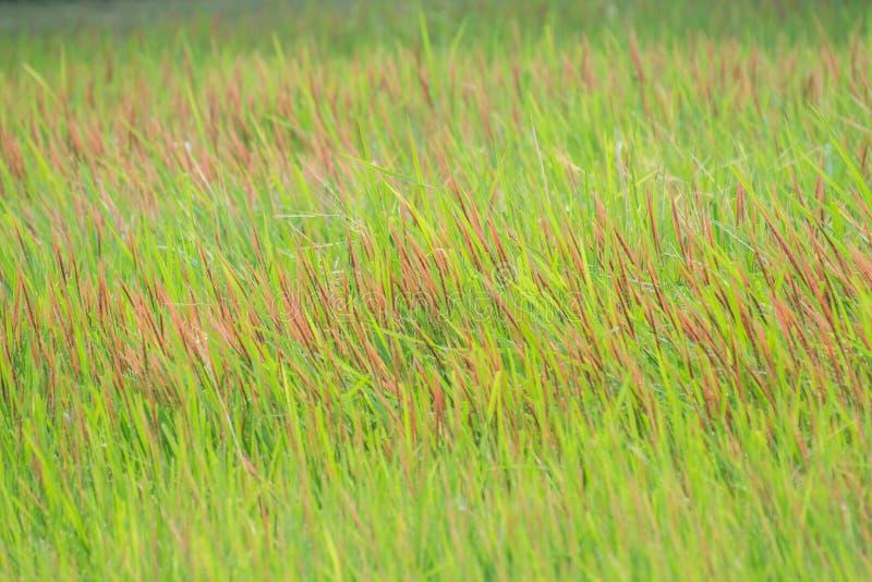 Groen Gras met Rode Flardenclose-up royalty-vrije stock afbeelding