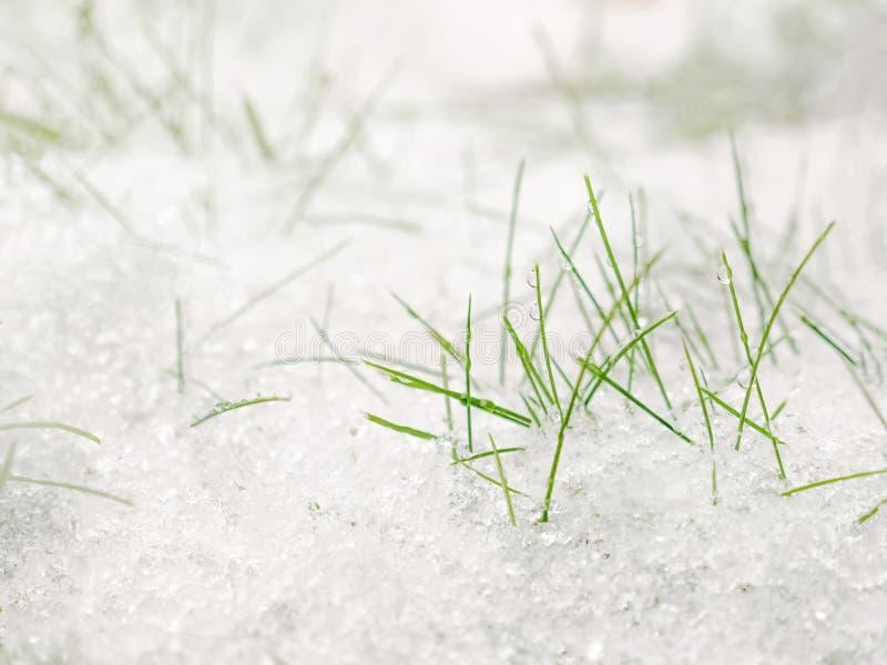 Groen Gras onder de Sneeuw Gras dat met sneeuw wordt behandeld Witte sneeuw en groene grasachtergrond stock foto's