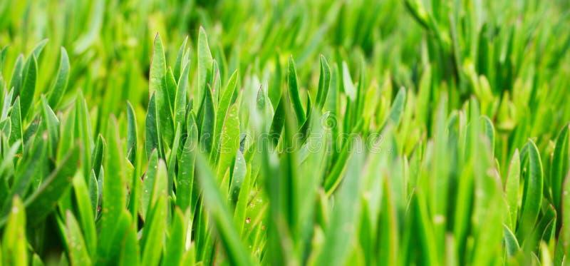 Groen gras op het gazon royalty-vrije stock afbeelding