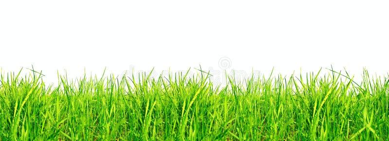 Groen gras op wit stock foto