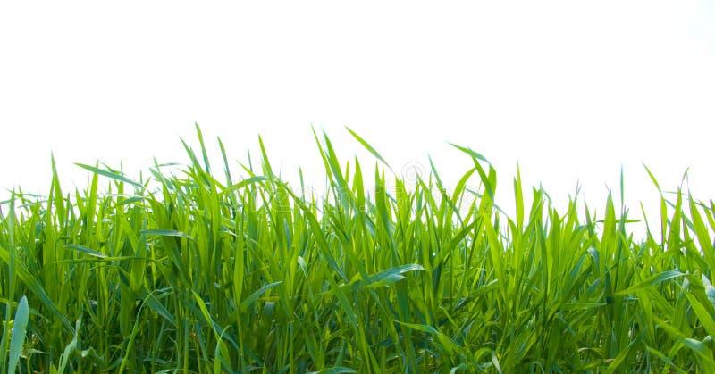 Groen gras op wit royalty-vrije stock fotografie