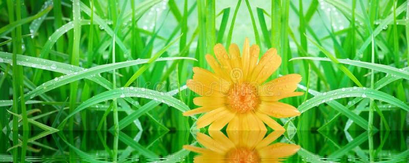 Groen gras in regendruppels en gele calendulabloem royalty-vrije stock fotografie