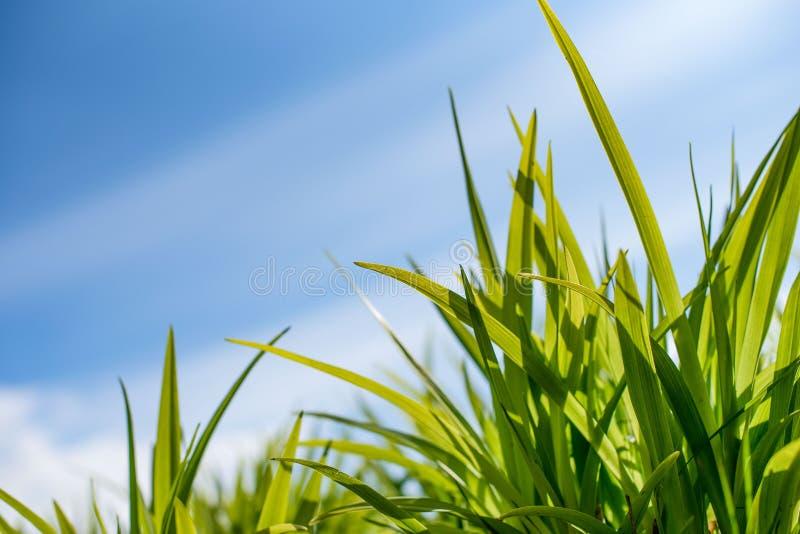 Groen gras tegen de hemel stock afbeelding