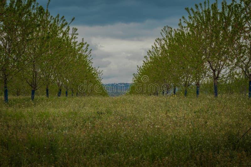 Groen gras tussen rijen van bomen op boomgaard onder blauwe de zomerhemel stock foto