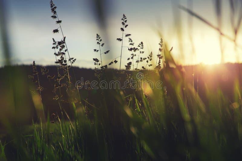 Groen gras in zonsondergang stock afbeeldingen