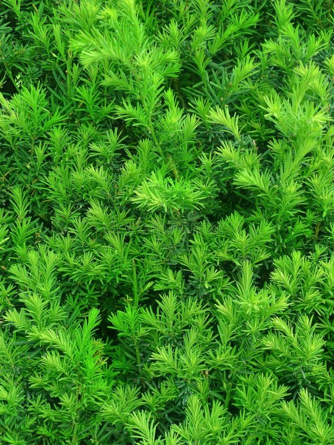 Groen haagtaxushout in detail stock fotografie