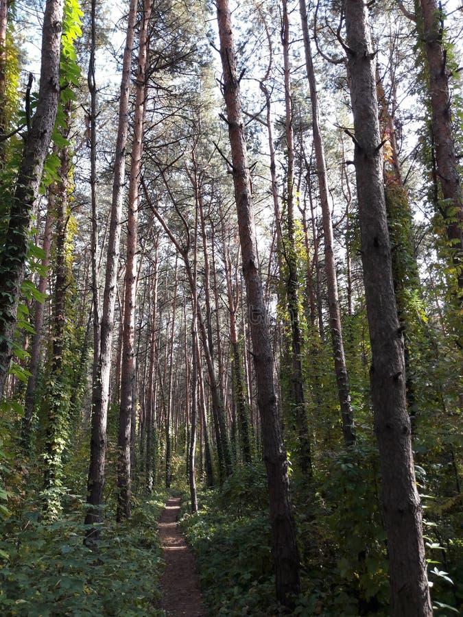Groen houten pijnboom bospark in Rusland stock foto