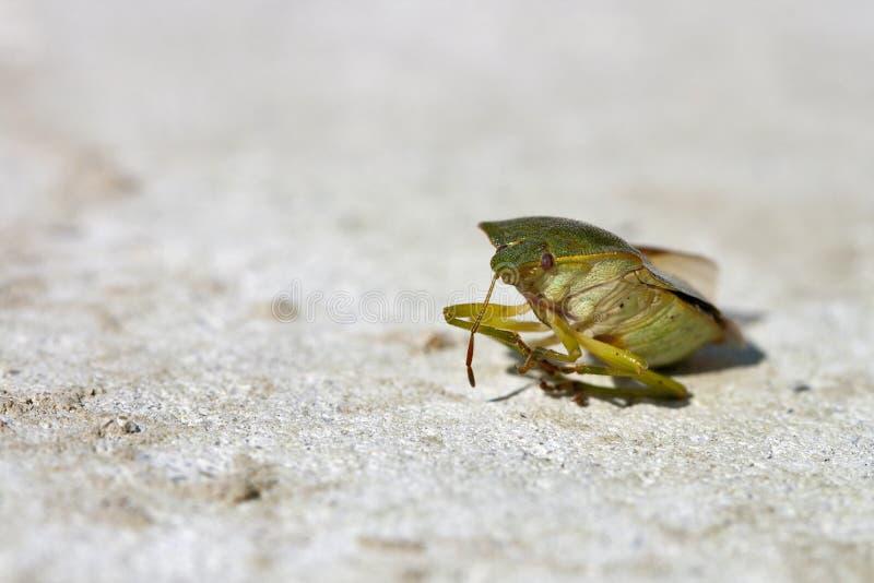 Groen insect stock afbeeldingen