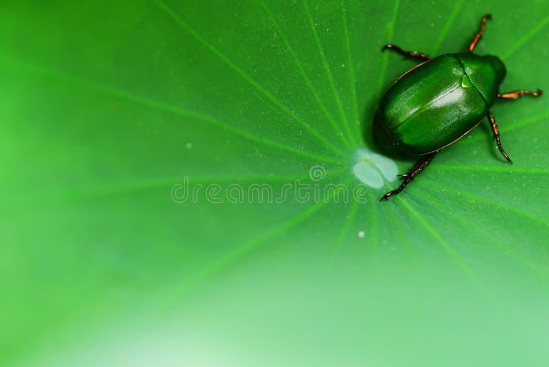 Groen insect op het lotusbloemblad royalty-vrije stock afbeelding