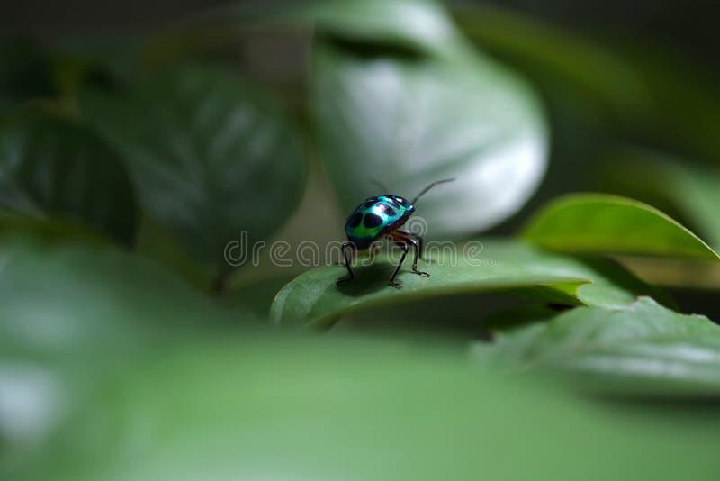 Groen insect over het groene blad stock fotografie