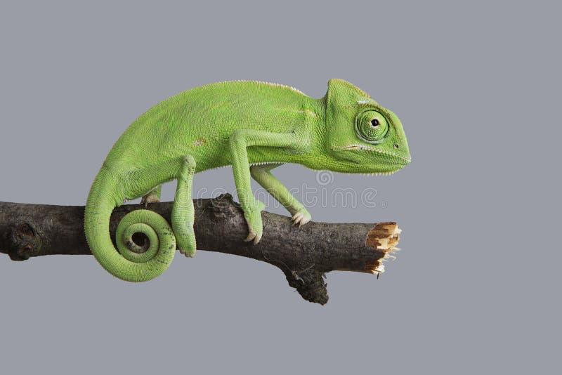 Groen kameleon royalty-vrije stock afbeelding