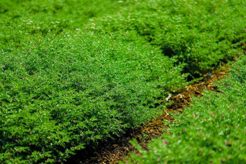 Groen Kikkererwtengebied stock foto's