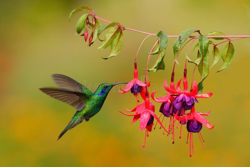 Groen kolibrie Groen violet-Oor, Colibri-thalassinus, die naast mooie roze en violette bloem, Savegre, Costa Rica vliegen stock foto's