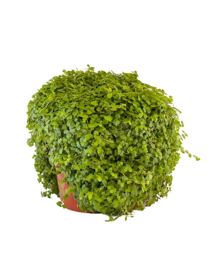 Groen kruid royalty-vrije stock foto