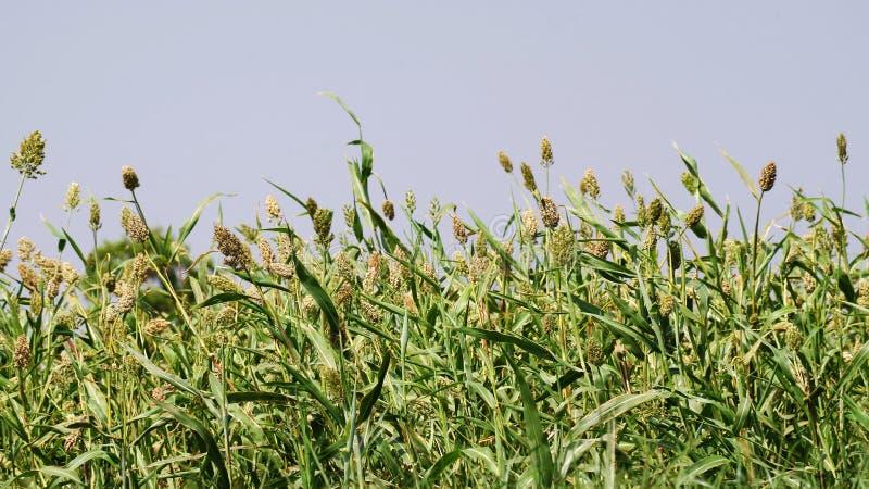Groen landbouwbedrijf stock afbeeldingen