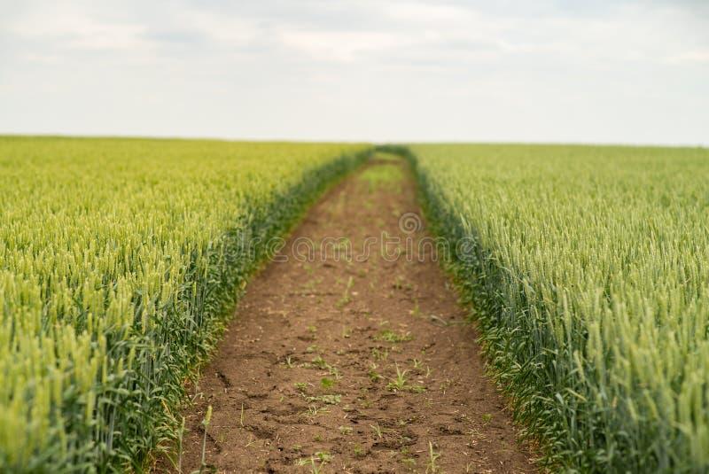 Groen landbouwbedrijf, landschap met gewas van tarwe op gebied in de lente stock afbeelding