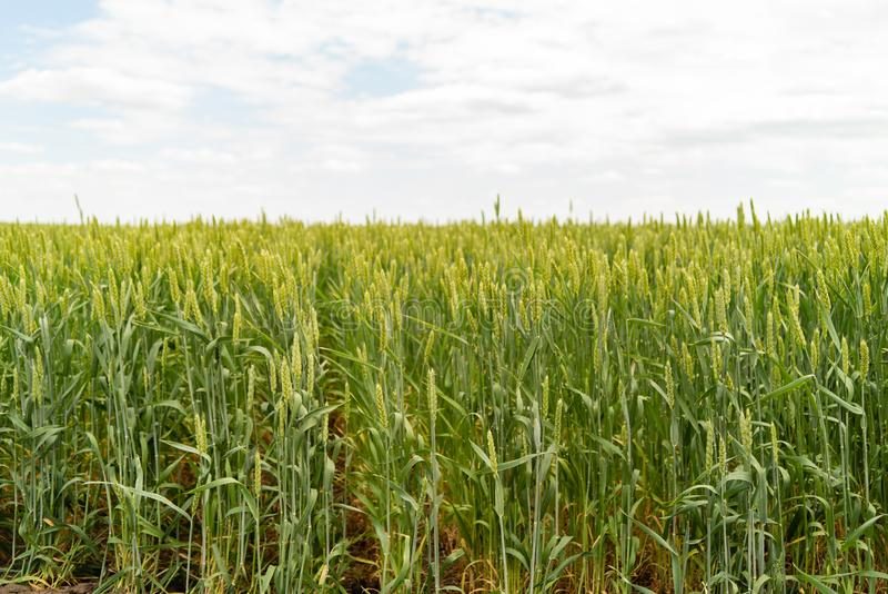 Groen landbouwbedrijf, landschap met gewas van tarwe op gebied in de lente royalty-vrije stock foto
