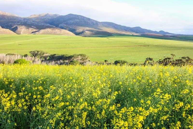 Groen landbouwbedrijflandschap met geel canolagebied in voorgrond en bergen op de achtergrond stock afbeeldingen