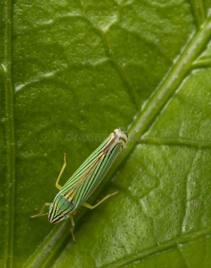 Groen leafhopper insect op een blad royalty-vrije stock foto's