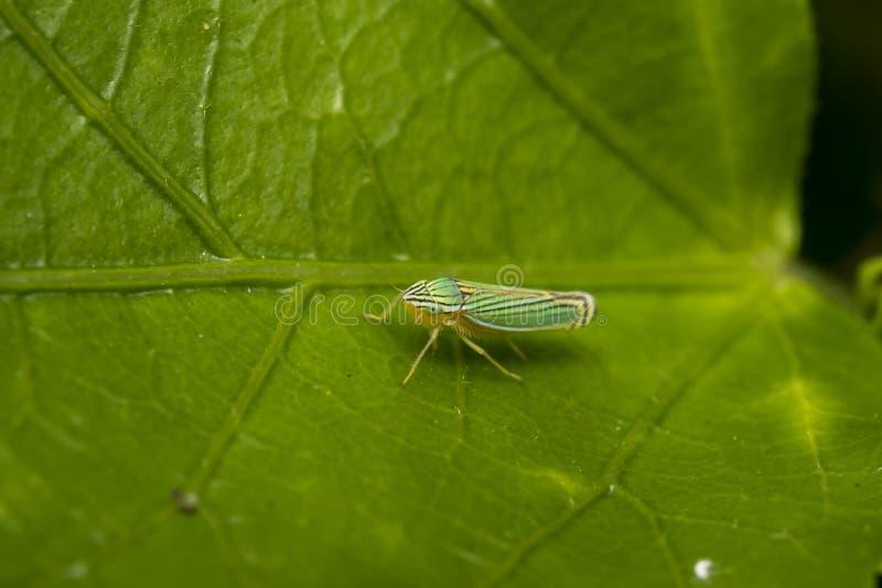 Groen leafhopper insect op een blad stock foto