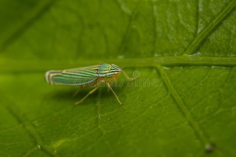 Groen leafhopper insect op een blad stock foto's