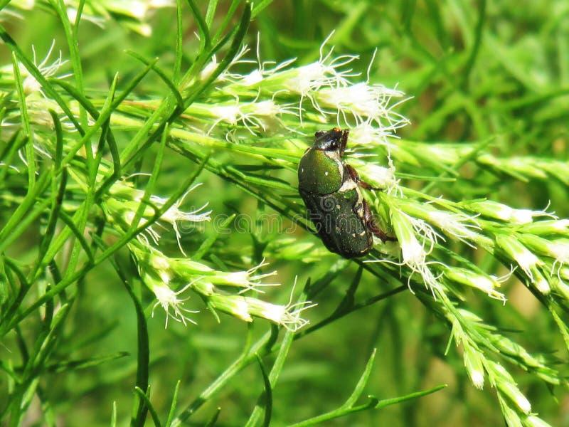 Groen Lieveheersbeestje op klein wit bloemboeket met sunshinesmorni royalty-vrije stock afbeelding