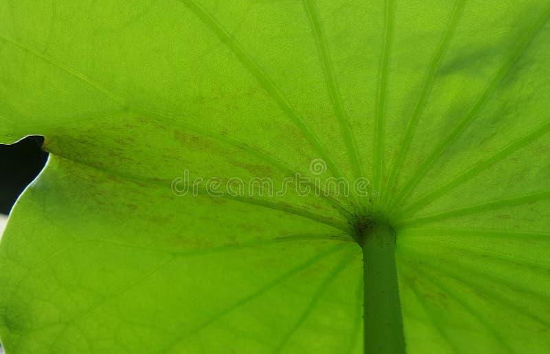 Groen lotusbloemblad stock afbeelding