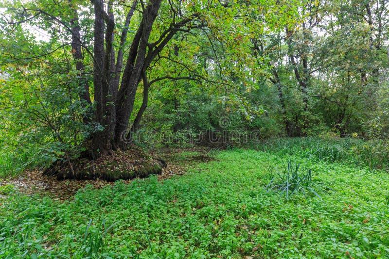 Groen moeras in diep bos royalty-vrije stock afbeeldingen