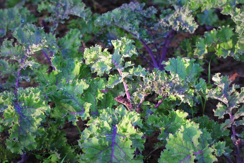 Groen moestuingebied die rode boerenkool groen in organisch aanplantingslandbouwbedrijf planten stock foto's
