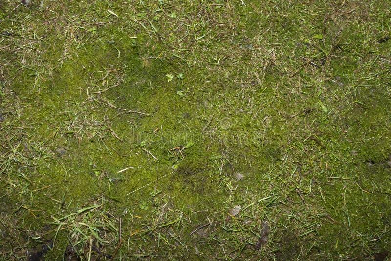 Groen mos royalty-vrije stock afbeelding
