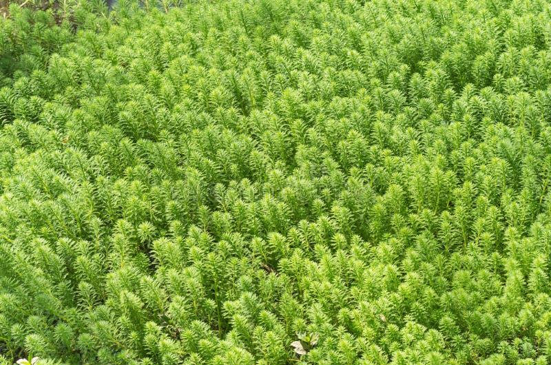Download Groen Mos stock afbeelding. Afbeelding bestaande uit gras - 39100955