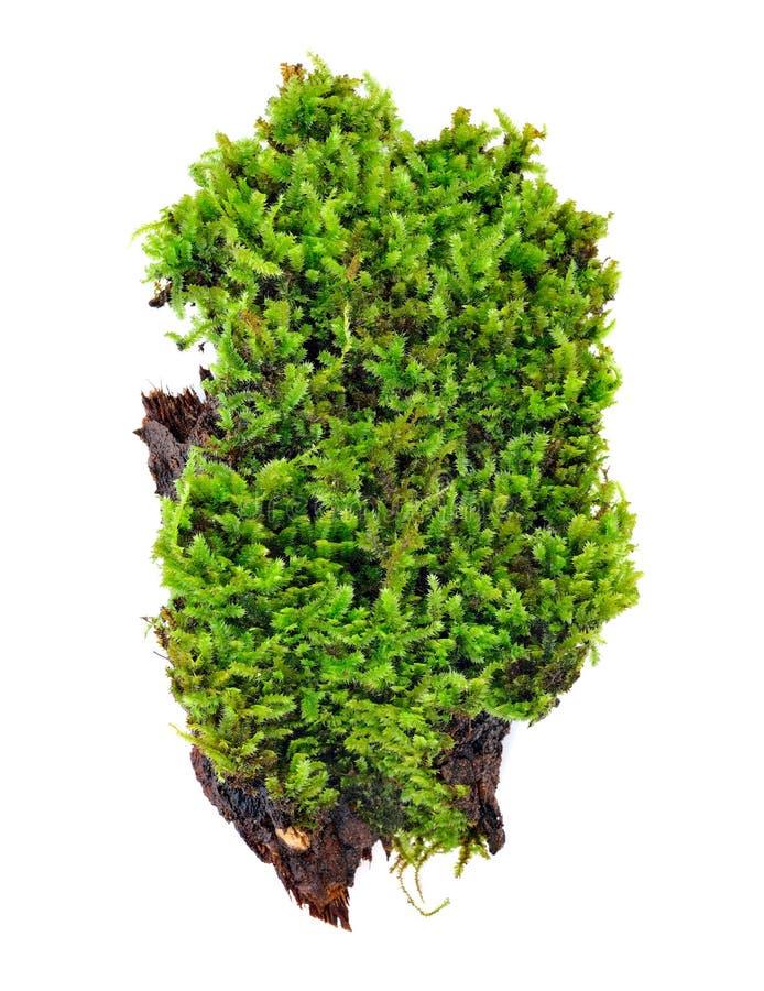 Groen mos dat op wit wordt geïsoleerd stock fotografie