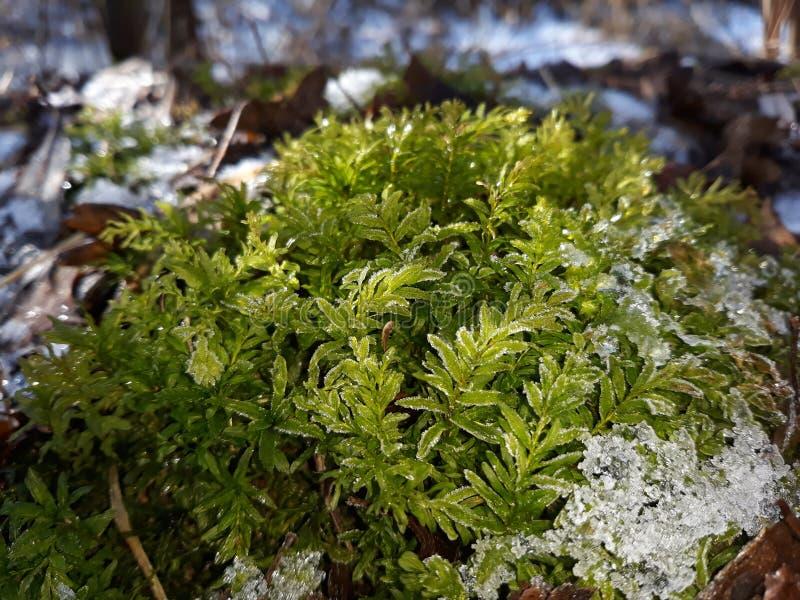 Groen mos in de sneeuw royalty-vrije stock afbeeldingen