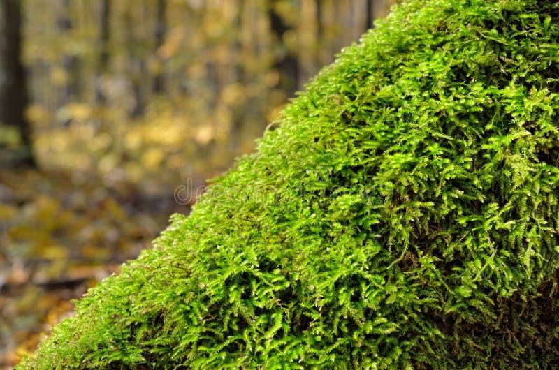 Groen mos onder de gevallen bladeren in het bos royalty-vrije stock fotografie