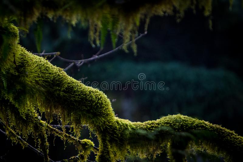 Groen mos op boom in Vreedzaam Noordwesten royalty-vrije stock fotografie