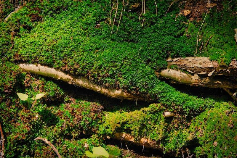 Groen mos op de wortels in bos royalty-vrije stock afbeelding