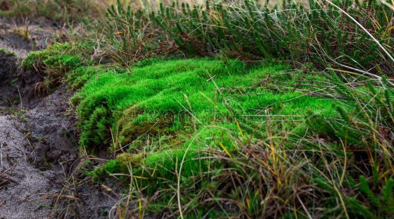 Groen mos op de zandduinen royalty-vrije stock foto