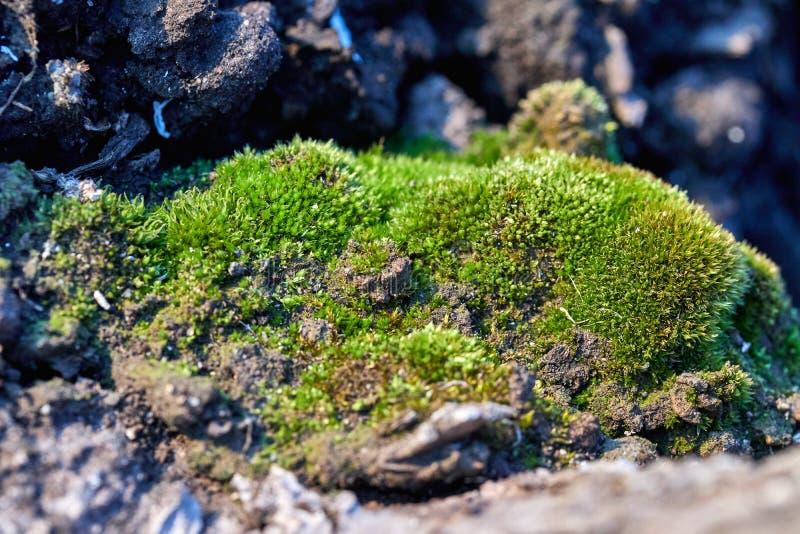 groen mos op een boom in de bosaard stock afbeelding