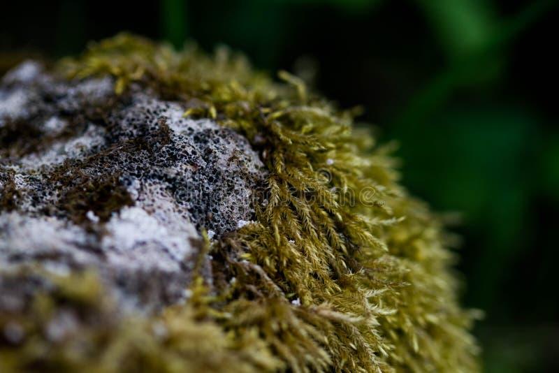 Groen mos op een grijs steenclose-up Steen in macromos Het bosmos groeit op een rotsachtige oppervlakte royalty-vrije stock afbeelding