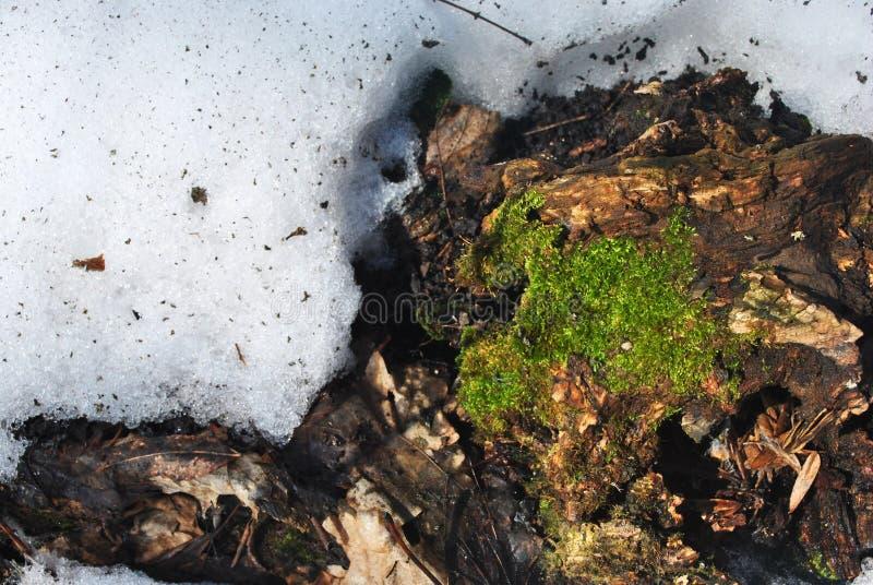 Groen mos op oude houten achtergrond die dichtbij sneeuw smelten stock fotografie