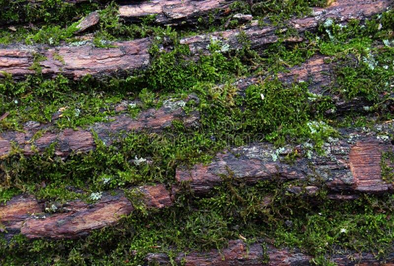 Groen Mos op Schors stock fotografie
